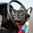 French Bulldog in a car - Stock Photo