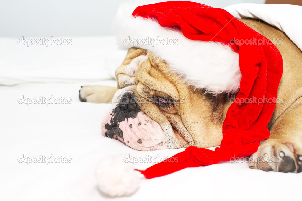 English Bulldog in a christmas hat isolated — Stock Photo #7672959