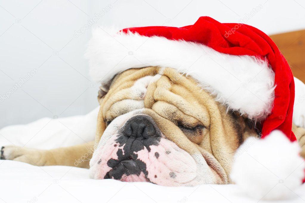 weihnachten bulldog in einem hut stockfoto tanyxa333. Black Bedroom Furniture Sets. Home Design Ideas