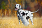 Dogs playing in a field — Stock Photo