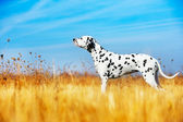 Beautiful Dalmatian dog — Stock Photo