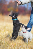 Cute french bulldog puppies — Stock Photo