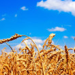 Golden ears of wheat in the sky — Stock Photo