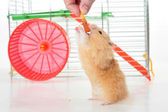 Hamster eating — Stock Photo