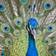 Colorful Peacock in Full Feather. — Stock Photo