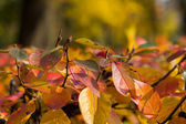 Colorful leaves of autumn bush — Stock Photo