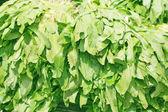 Sawtooth Coriander - Eryngium foetidum background — Stock Photo