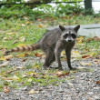 Young raccoon posing in middle of jungle — Stock Photo #7302969
