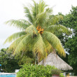 Stock Photo: Swimming pool next to huge palm tree