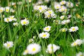 Field flowers — Stock Photo