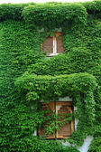 Ivy house wall — Stock Photo