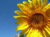 Orange tournesol sur fond bleu de ciel — Photo