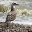 "Bird ""Cormorant"" ashore epidemic deathes — Stock Photo"