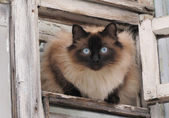 Cat with blue eye looks from small hinged window pane — Stock Photo