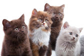 Four cute brititsh kittens — Stock Photo