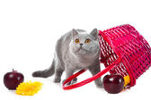 British blue kitten with pink basket on isolated white — Stock Photo