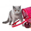 Stock Photo: British blue kitten with pink basket on isolated white
