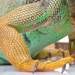 Paw of iguana — Stock Photo
