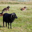 Black ram — Stock Photo #7112533