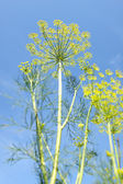 Dill flowers — Stock Photo