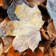 Frosted autumn leaves - Stockfoto