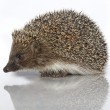 A young hedgehog, about a year — Stock Photo