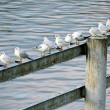 Stock Photo: Gulls sitting in row