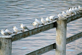 Gulls sitting in a row — Stock Photo