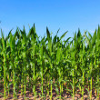 Stock Photo: Green maize field