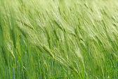 Green rye — Stock Photo