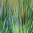 Reed Mace — Stock Photo