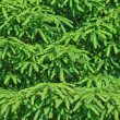 Spruce tree background — Stock Photo