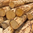 Debarked logs - Stock Photo