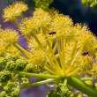 Stock Photo: Yellow mountain plant Ferula.