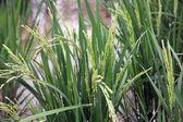 New autumn rice field — Stock Photo