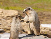 Marmots fighting for Territory — Stock Photo