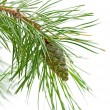 Green cone on a pine branch — Stock fotografie