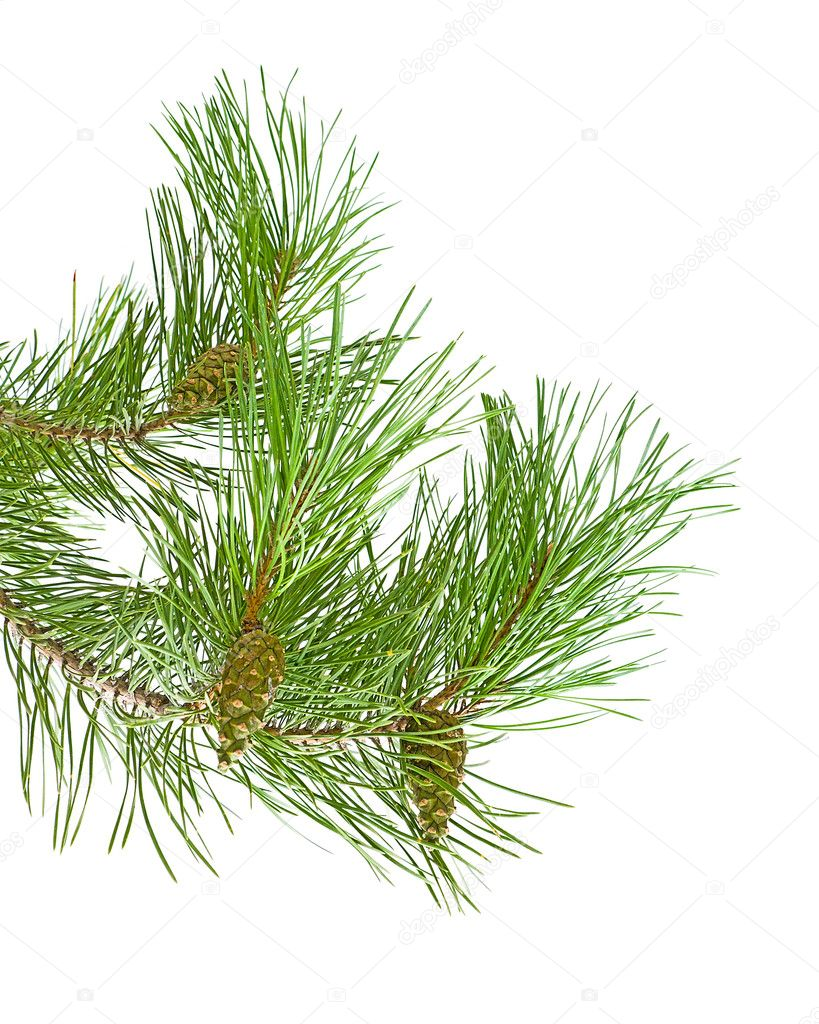 Green cones on a pine branch on a white background — Stock Photo #6932230