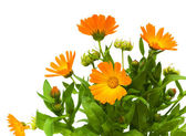Calendula flower on a white background — Stock Photo