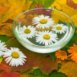 Chamomile and calendula flowers on maple leaves - Stok fotoğraf