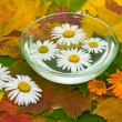 Chamomile and calendula flowers on maple leaves - Stock Photo