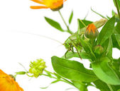 Grasshopper sitting on the flowers of calendula — Stock Photo