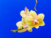 Yellow orchid on a blue background — Stock Photo