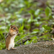 Royalty-Free Stock Photo: The chipmunk sits