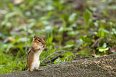The chipmunk sits — Stock Photo