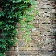 Grey brick wall covered in green ivy - Stock Photo