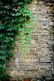 Grey brick wall covered in green ivy — Stock Photo