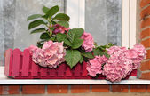 Hydrangea at a window — Stock Photo
