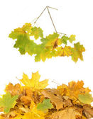 Leaves and maple branch — Stock Photo