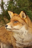 Profile in close up of a stuffed fox — Stock Photo